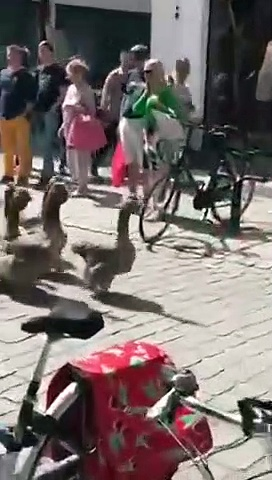 Parade full of geese