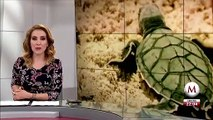 Reproduccion de tortugas esta en riesgo por sargazo