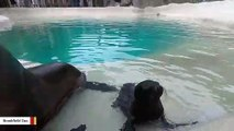 California Sea Lion Pup Bonds With Mom At  Brookfield Zoo