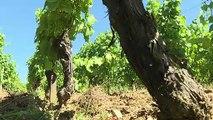 Le village de Chardonnay veut sortir de l'ombre de son cépage