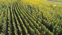 Trakya'nın ayçiçeği mevsiminde havadan görüntüleri