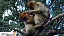 For First Time, Endangered Monkeys Observed 'Consoling' An Injured Juvenile From Another Group
