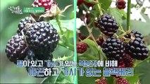 매끈하고 가시가 없는 검은 딸기, 블랙베리!