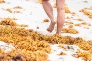 Les envahissantes algues sargasses bientôt utilisées comme ressource ?