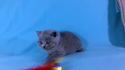 British Shorthair Resource | Learn About, Share and Discuss