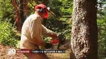 Sécheresse : alerte sur les sapins des forêts vosgiennes