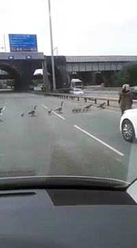 waiting for geese to cross the road