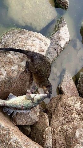 Fishing Rat Carries Catch Away