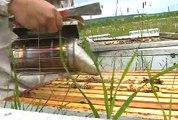 Récolte de miel difficile pour les apiculteurs