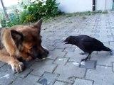 Un chien et un corbeau jouent à la balle. Adorable