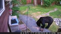 Quand un chien chasse un ours qui squatte le jardin. Courageux