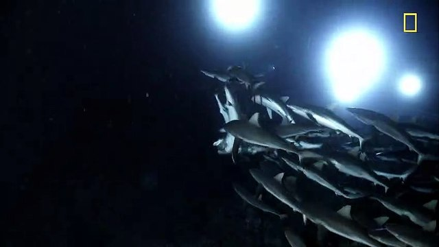 GREAT SHARK CHOW DOWN Clip - Nat Geo