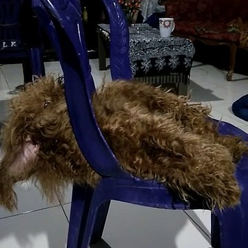 Cute Poodle having a bad dream.Funny animal..