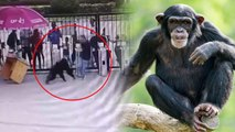 chimpanzee attack - video dailymotion
