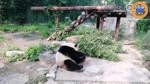 Des touristes lancent des pierres à un panda dans un zoo  !