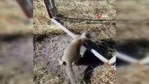 Kafası tellere sıkışan tilkiyi penseyle kurtardı