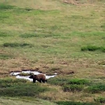 Grizzly Bear Stalking Hikers in Denali National Park