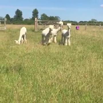 Longridge Alpacas