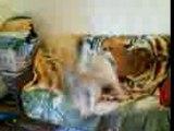 Bebel & moogly qui jouent sur le canapé