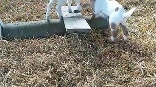 2 bébés chèvres jouent.. à la balançoire !