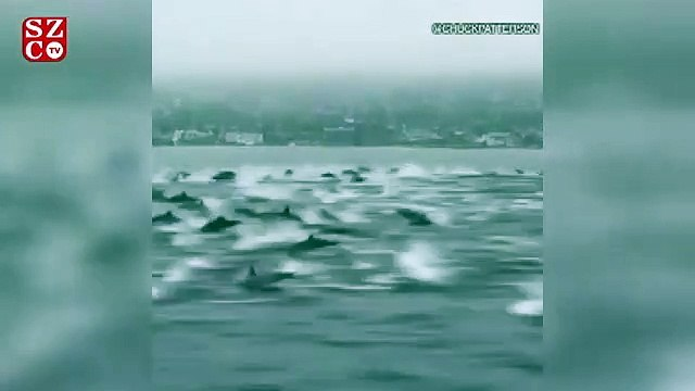 Yüzlerce yunus teknelerinin etrafını çevirdi