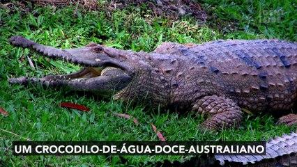 Na Austrália, uma píton gigante é observada ao engolir um crocodilo inteiro
