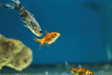 Things you need to know about Goldfish