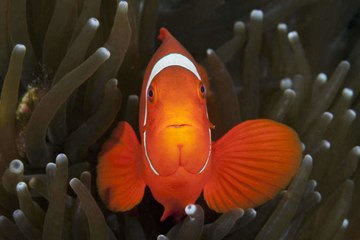Everything you need to know about the clownfish