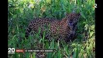 Brésil : le Pantanal, un des derniers sanctuaires des jaguars