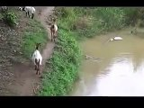 Cette chèvre ne se rend pas compte qu'un crocodile la guette