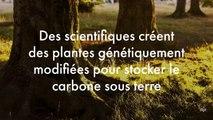 Des scientifiques créent des plantes génétiquement modifiées pour stocker le carbone sous terre