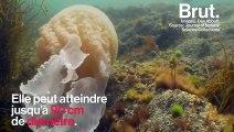 Une méduse géante observée dans la Manche