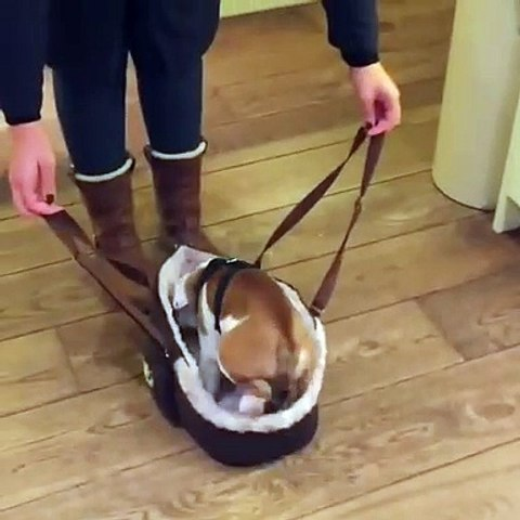 English Bulldog Puppy Rides in Carrier