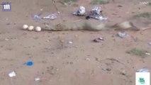 Son cobra digère mal les oeufs qu'il vient de manger