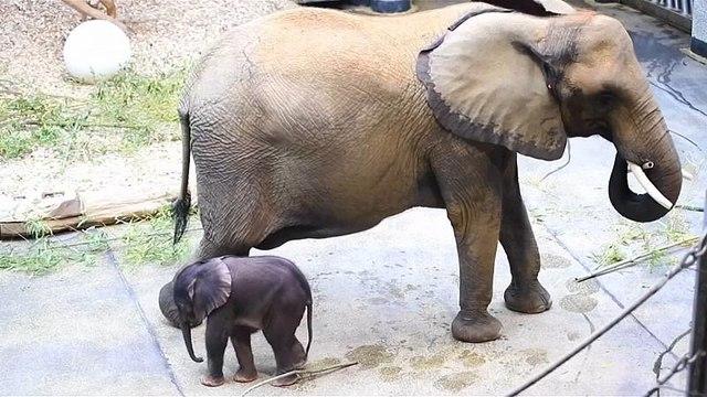 Gehen? Geht so...5 Tage alter Baby-Elefant in Schönbrunn