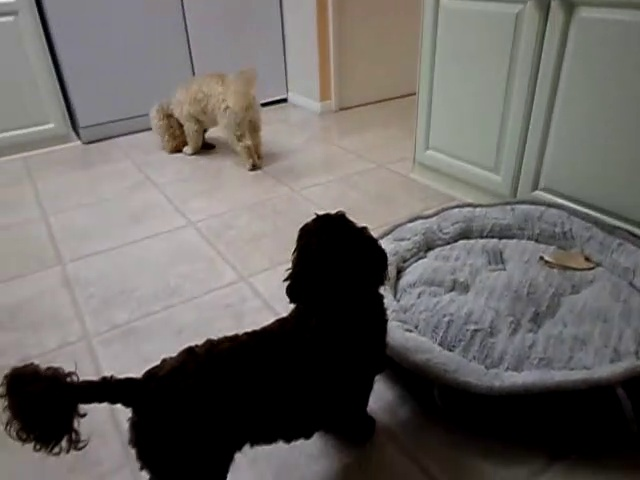 cockerpoo dog squeaking his toy