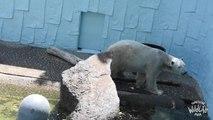 Polar bear dies ahead of Doncaster retirement