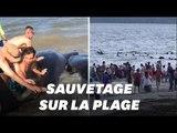 Des dauphins échoués sur la plage sauvés par des baigneurs