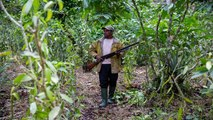 Madagascar : l'action des brigands affecte la qualité de la vanille