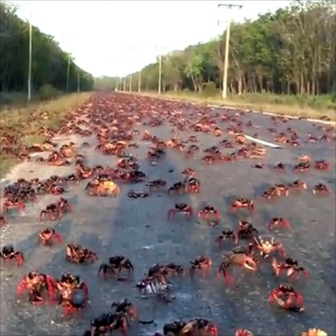The Migration Of Christmas Red Crabs