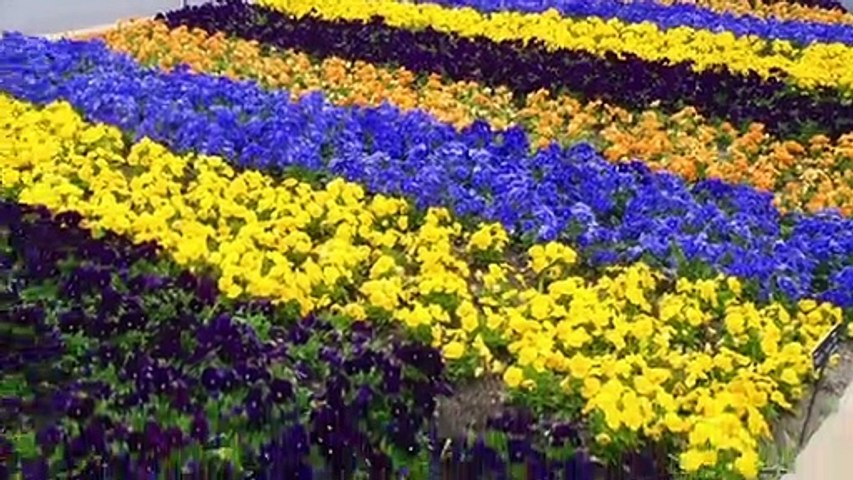 How to Grow and Care for PANSIES - Gardening Flowers at Home
