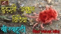 कुदरती अद्भुत विडियो - जो आपको बहुत ही पसंद आएगा !! बीरबहूटी - Red Velvet Mite   nature - rain bugs