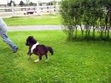 Ce cheval miniature est l'animal le plus mignon du monde