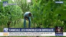 Quelles conséquences a la canicule sur les vignobles ?