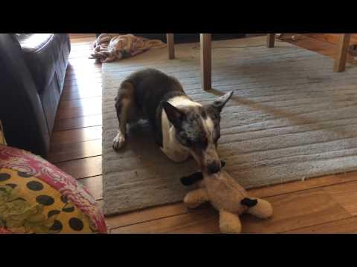 Dog With Amputated Front Legs Plays Around Joyfully With Toy