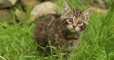 Deux chatons sauvages dont l'espèce est « fonctionnellement éteinte » sont nés en Écosse