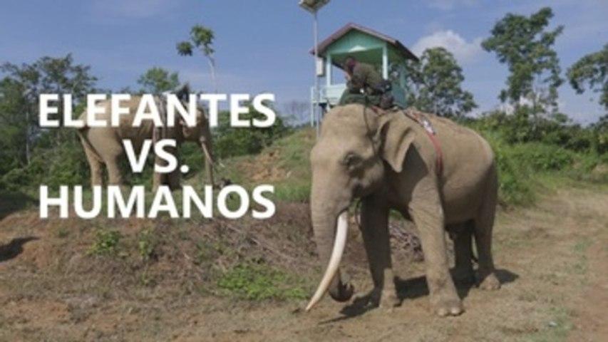 Elefantes entrenados aliados de agricultores en Indonesia