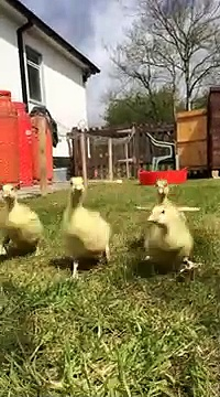 -My little yellow baby geese running waddling over to me in slow motion