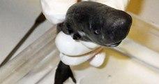 Une nouvelle espèce de requin bioluminescente a été découverte