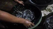 Panen ikan lele mutiara - fishes in buckets from indonesia........fisherman?